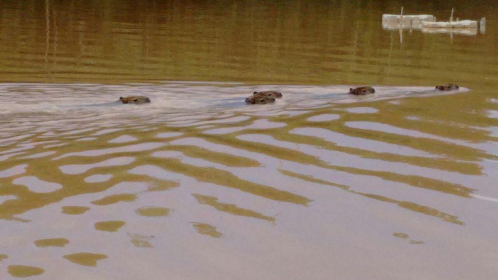 Animais nadam a tarde no lago do parque. (Foto: Lucas Eurilio)